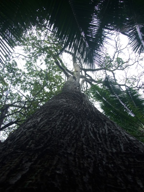 Pseudobombax, looking up trunk into canopy