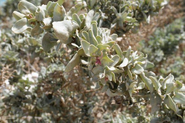 Flora of Oman