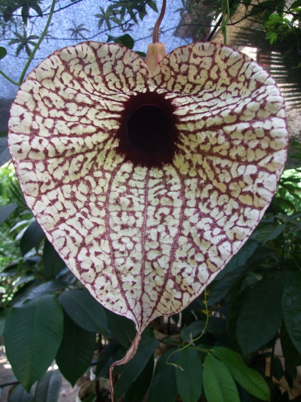 Aristolochia blooming