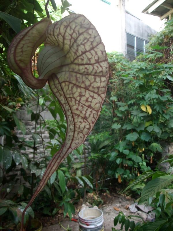 aristolochia blooming profile