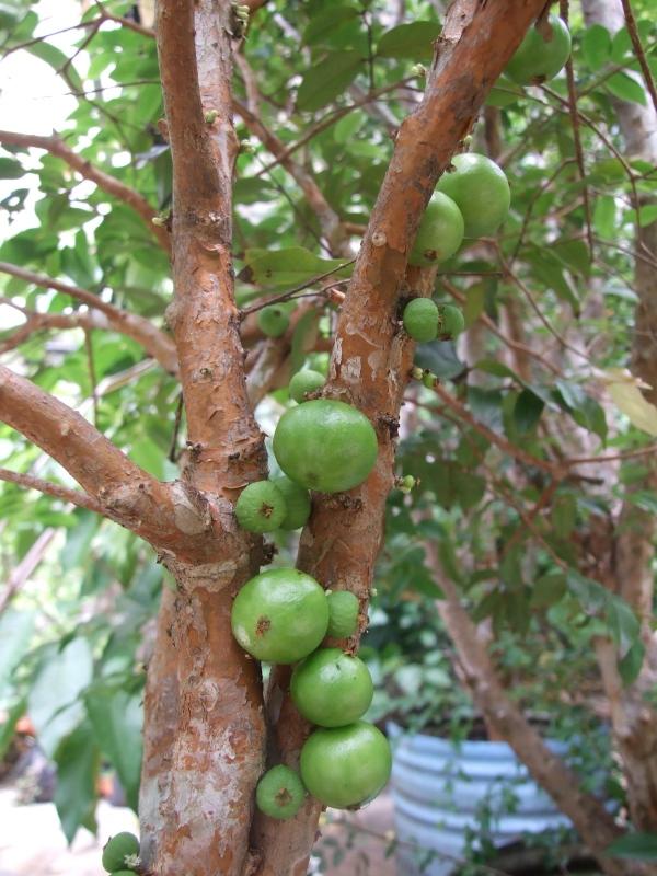 dwarf jaboticaba, fruiting