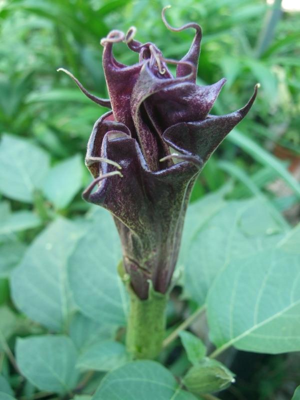 Purple Datura metel