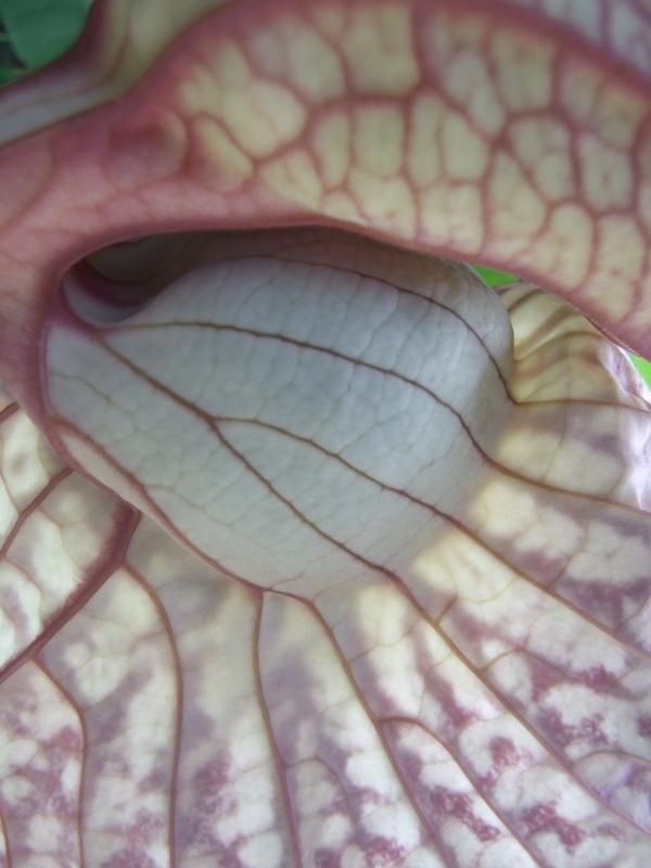 Aristolochia detail