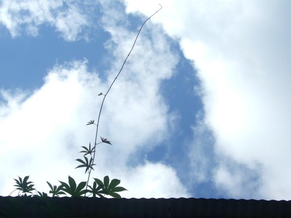Hawaiian Woodrose