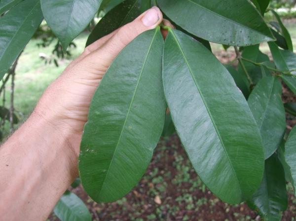 unidentified guttiferaceae leaf