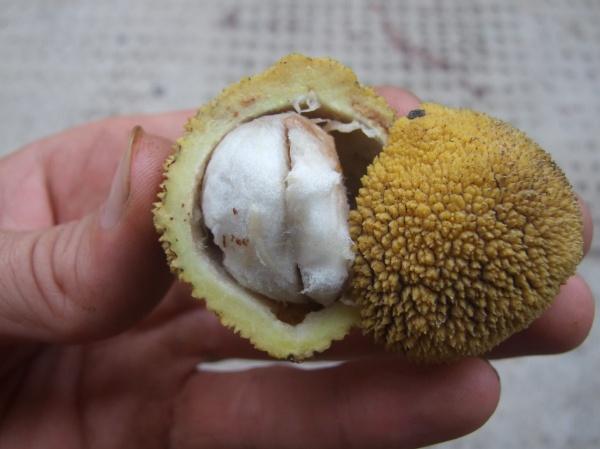 unidentified guttiferaceae spp.