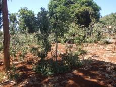 khat shrubs