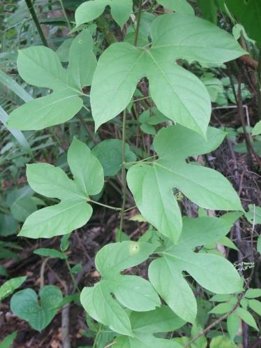 Panama Passiflora leaf