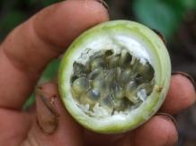 Panama Passiflora fruit inside