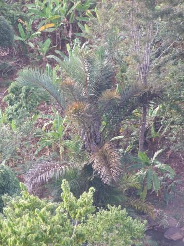 Kenya Raphia palm