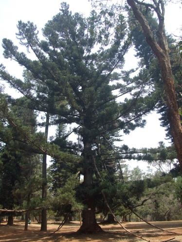 Aurucaria cunninghamiana