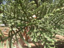 Aurucaria cunninghamiana branch