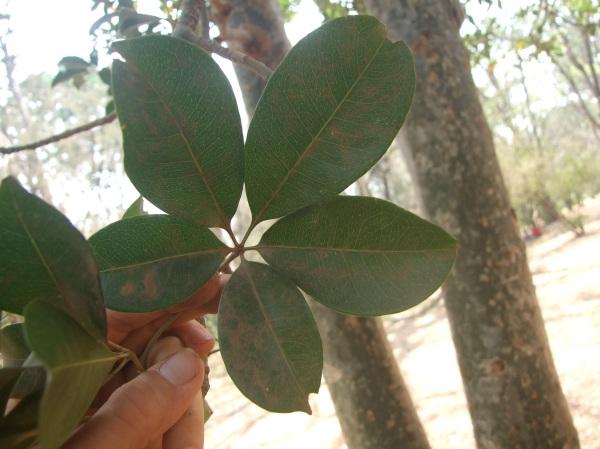 East African Bombax