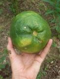 Citrus, giant lemon