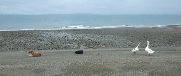 Dog, tire, and geese on beach, isla cebaco, panama