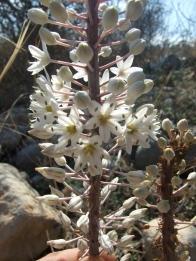 U. meritima, flower close