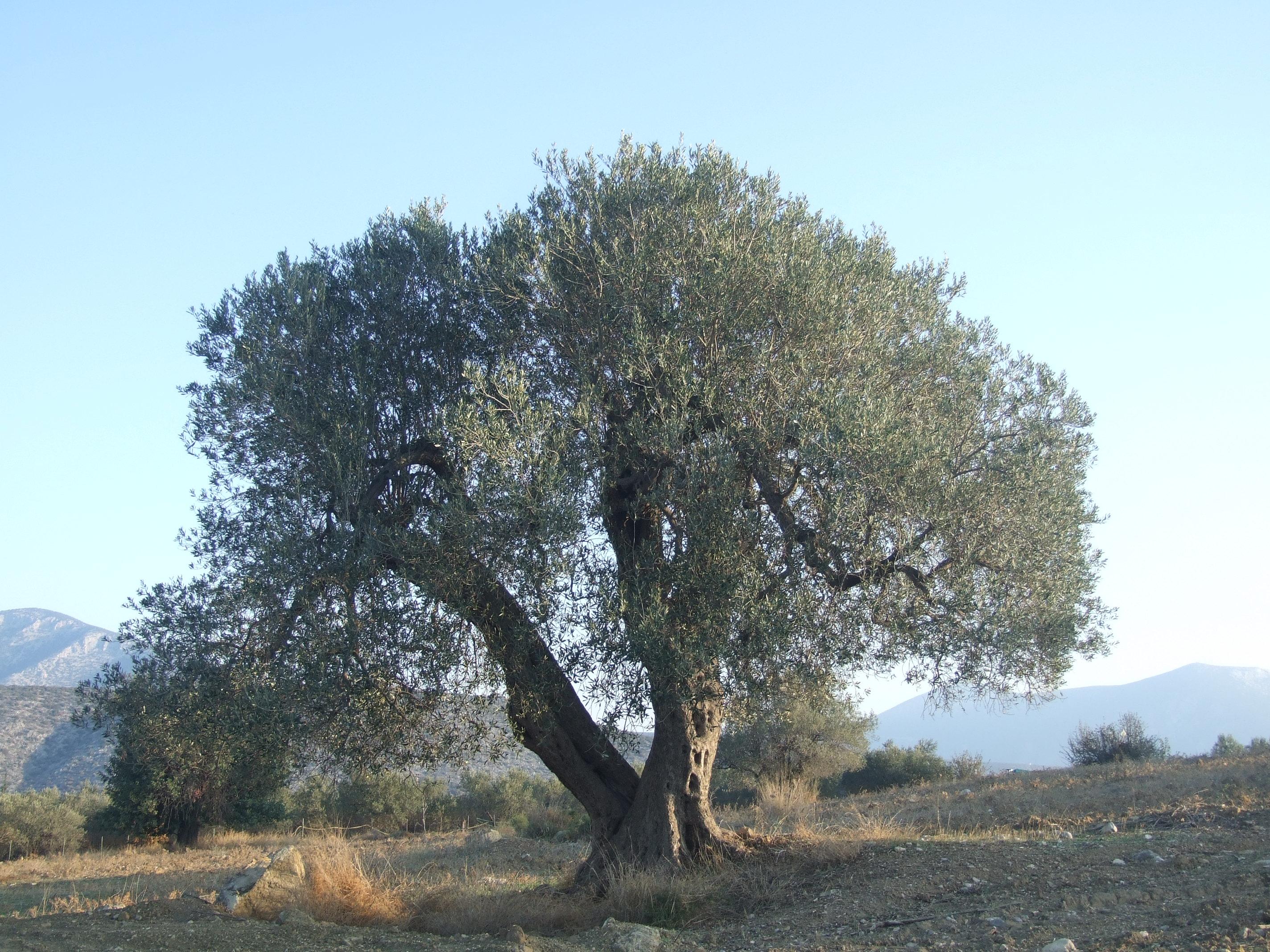 olive tree greece anthropogen. Black Bedroom Furniture Sets. Home Design Ideas
