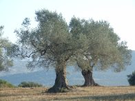 Olive tree, Greece