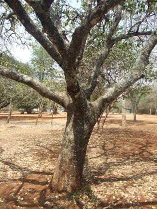 White Sapote tree