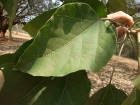 candlenut leaf