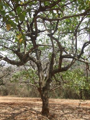 Candlenut tree
