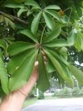 P. aquatica leaf