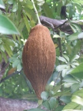 P. aquatica seed pod