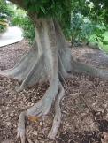 P. aquatica trunk