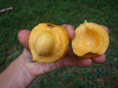 G. tinctoria