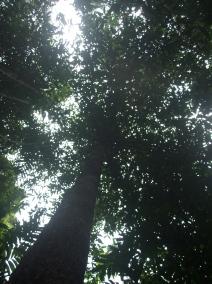 G. tinctoria tree