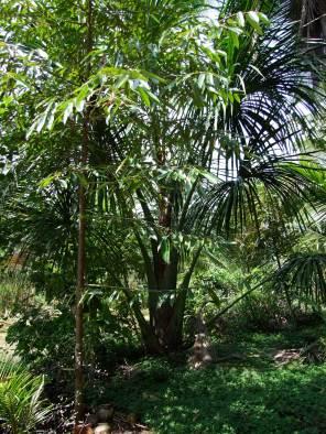 Durian and mauritia flexosa