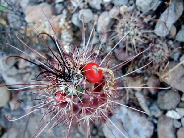 Mammillaria spp.