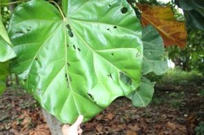 C. lizae, leaf, close