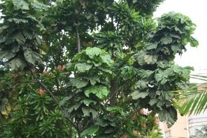 C. lizae, tree