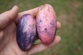 C. edule, fruit to scale