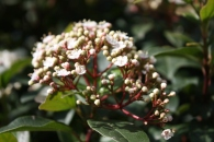 Ligustrum ovalifolium, flower