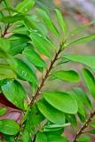 E. coca leaf