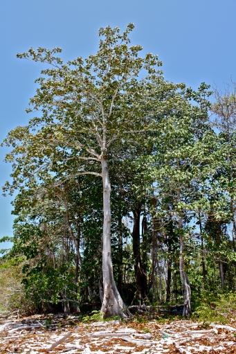 PG panama tree
