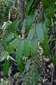 PG Aristolochia spp.