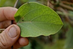 PG Malpighiaceae vine