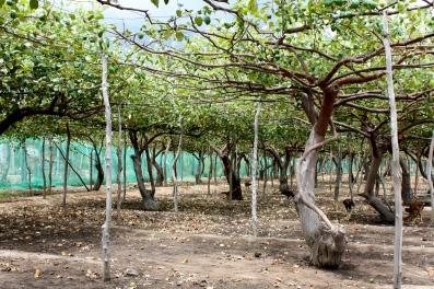 Z. mauritiana - orchard