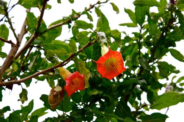B. sanguinea