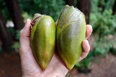 B. sanguinea, fruit