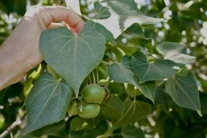 Hau tree - Leaves and fruit