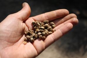 Hau tree - Seed