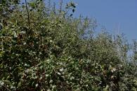 Ziziphus tree