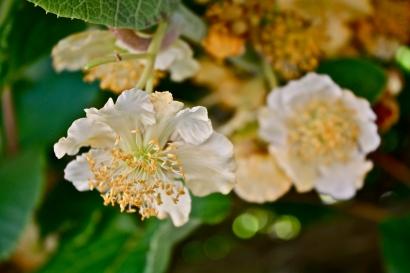 A. indica