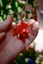 Fuchsia boliviana flower