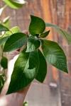 Fuchsia boliviana leaf