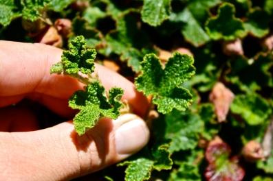 R. pentalobus, leaf